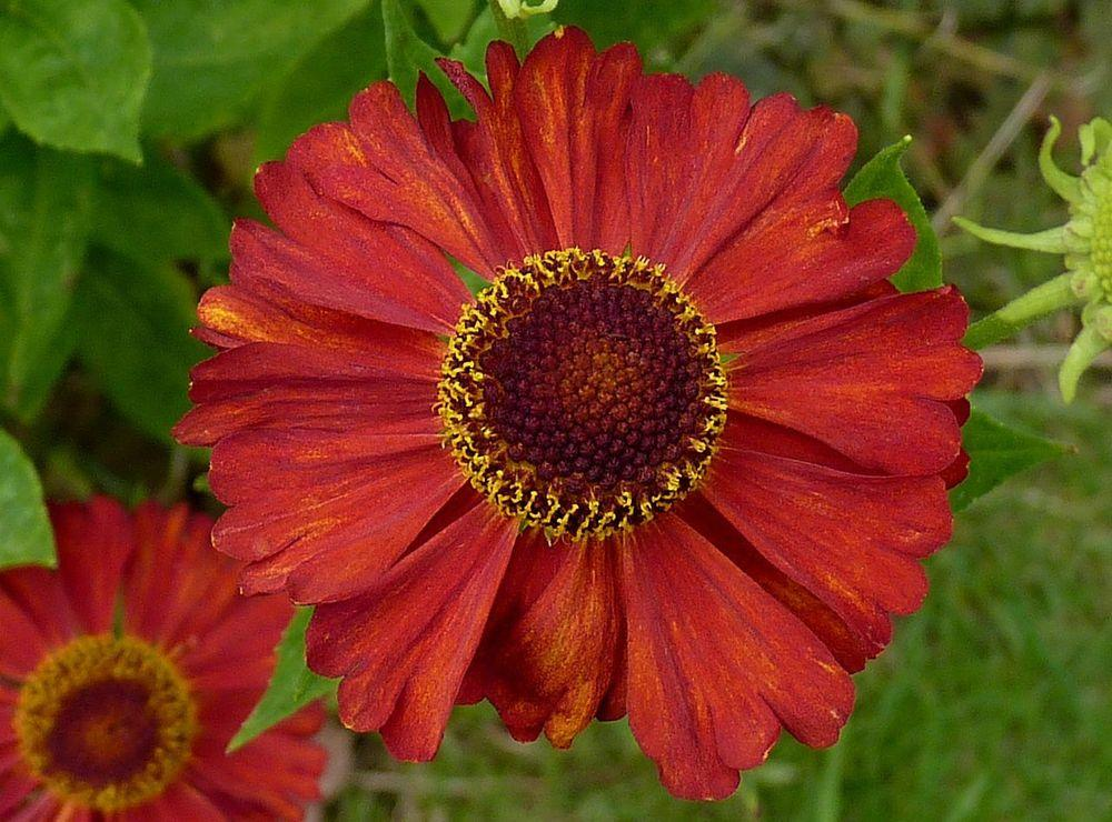 Photo of Sneezeweed (Helenium 'Indianersommer') uploaded by robertduval14