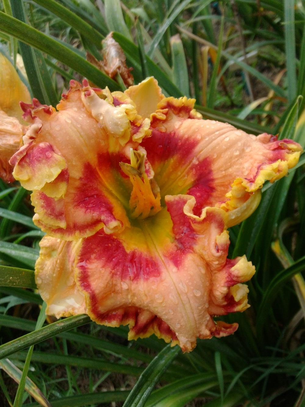 Photo of Daylily (Hemerocallis 'Spanish Fiesta') uploaded by lagrato
