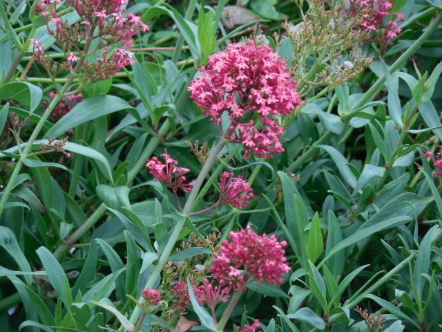 Photo of Red Valerian (Centranthus ruber 'Coccineus') uploaded by wcgypsy