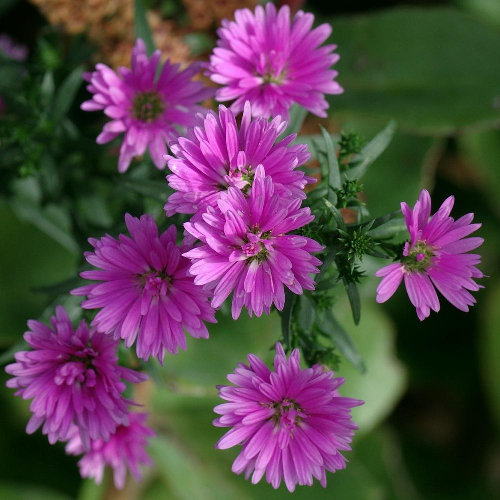 Photo of Aster (Symphyotrichum 'Le Reve') uploaded by dirtdorphins