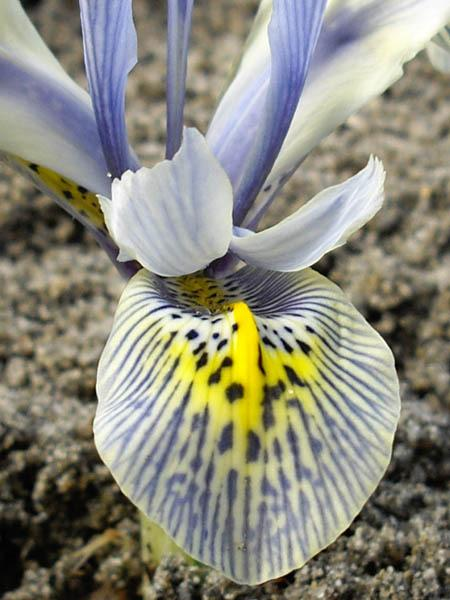 Photo of Reticulated Iris (Iris 'Katharine Hodgkin') uploaded by robertduval14