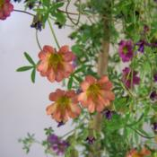 The Tropaeolum species that generated these hybrids are