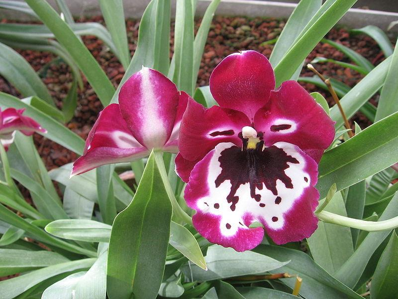 Photo of Orchid (Miltoniopsis Taye Diggs) uploaded by robertduval14