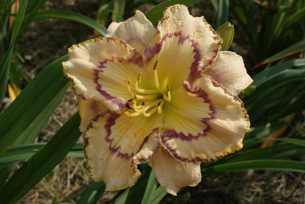 Photo of Daylily (Hemerocallis 'Faberge Easter') uploaded by lagrato