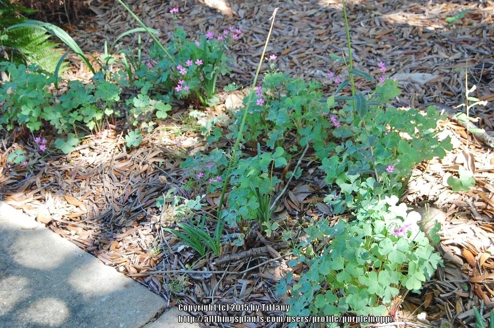 Photo of Pink Wood Sorrel (Oxalis articulata subsp. articulata) uploaded by purpleinopp