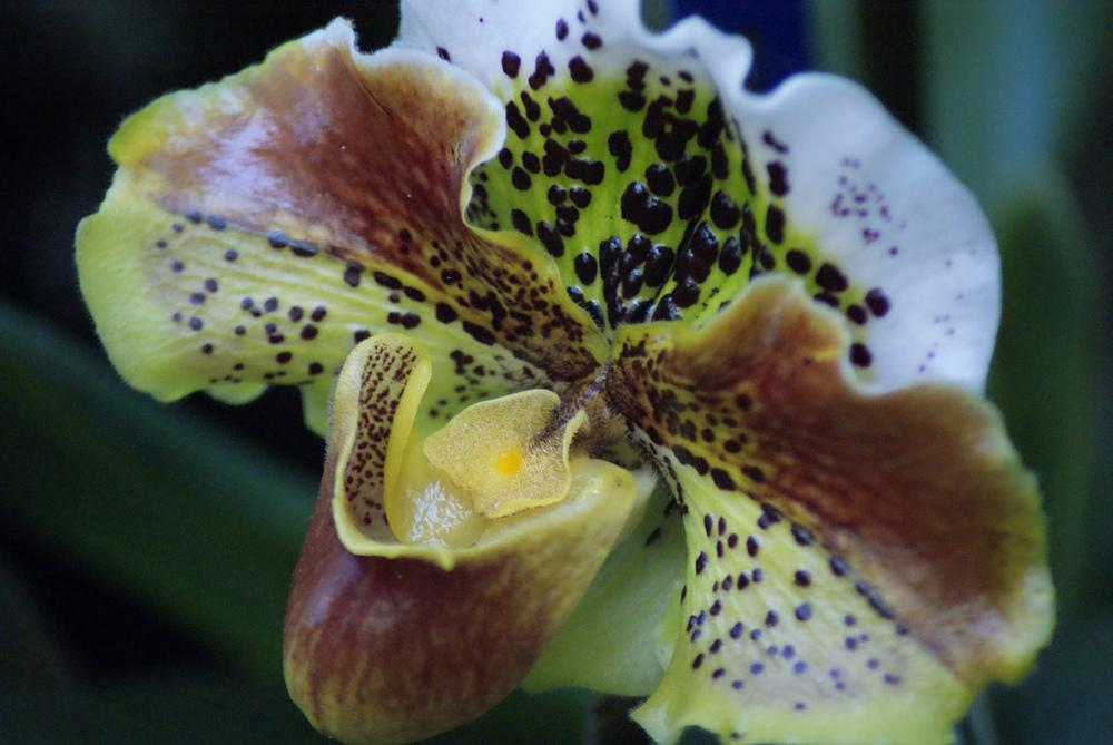 Photo of Orchid (Paphiopedilum Coro Spots) uploaded by robertduval14