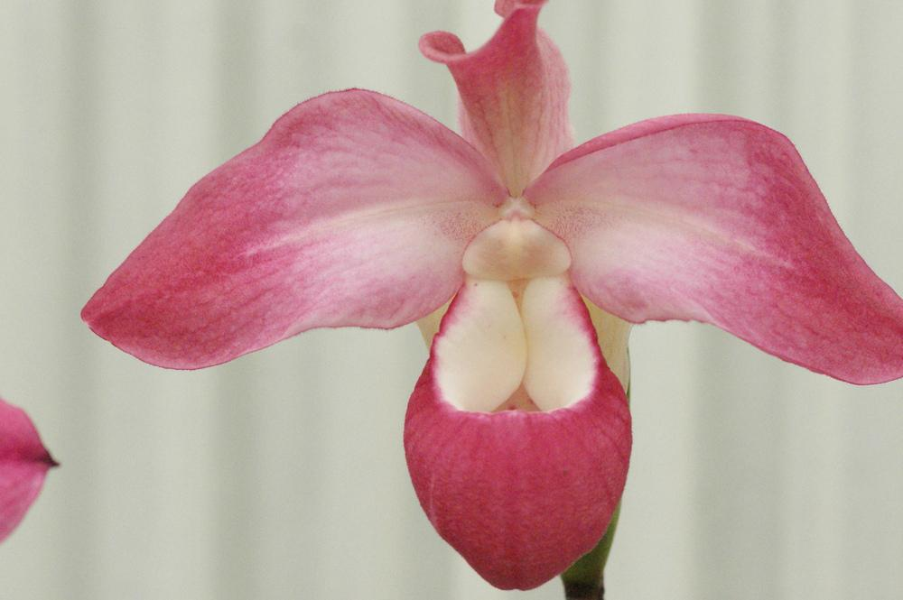 Photo of Orchid (Phragmipedium Suzanne Decker) uploaded by robertduval14