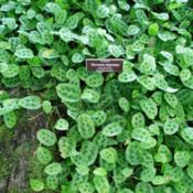 Location: Bronx Botanical garden, NYDate: 2015-10conservatory - fantastic ground cover!