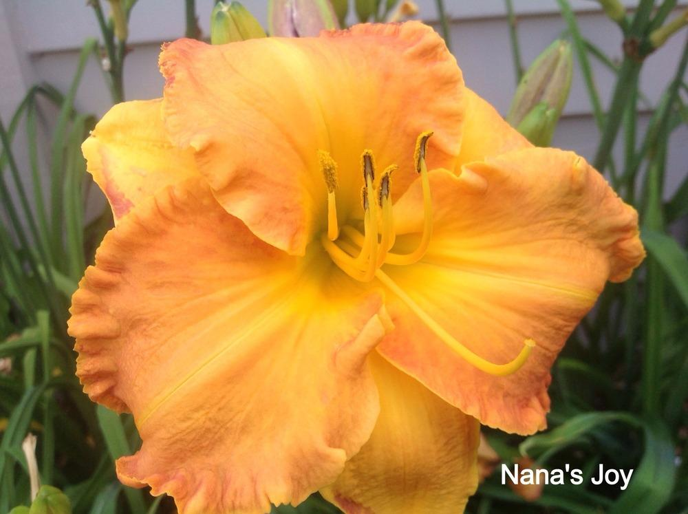Photo of Daylily (Hemerocallis 'Nana's Joy') uploaded by Ahead
