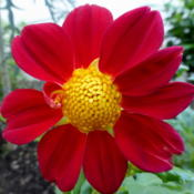 "Location: Colima, Colima Mexico (USDA Zone 11)Date: 2015-10-14Dahlia ""Bishops Children"" bloom"