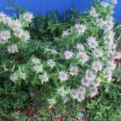 "Location: Denver Metro CODate: 2015-09-14Bought a ""bee balm"" herb during early spring from BigBo"