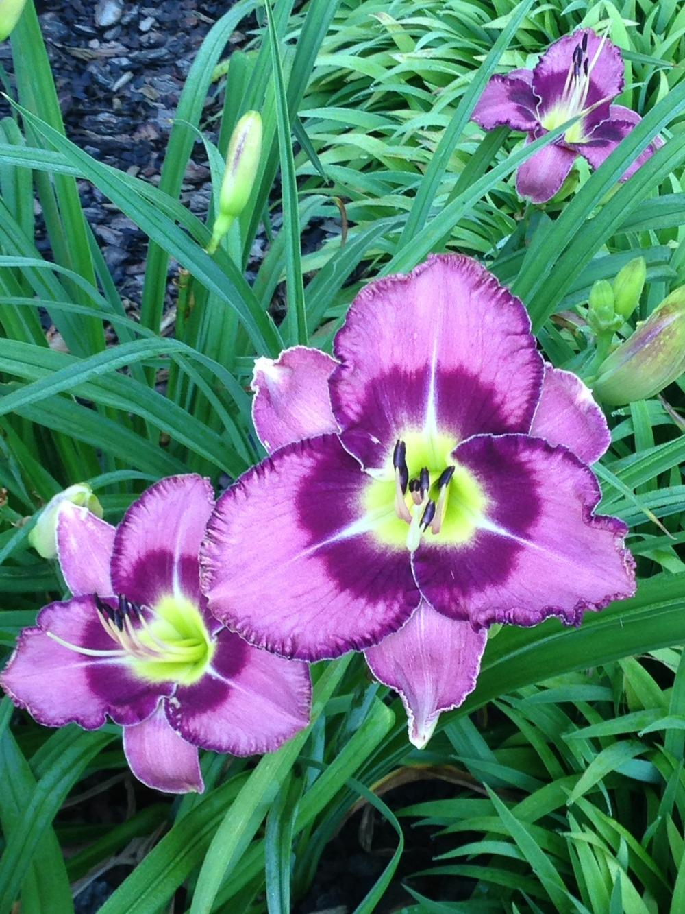 Photo of Daylily (Hemerocallis 'Druid's Chant') uploaded by Growgirl