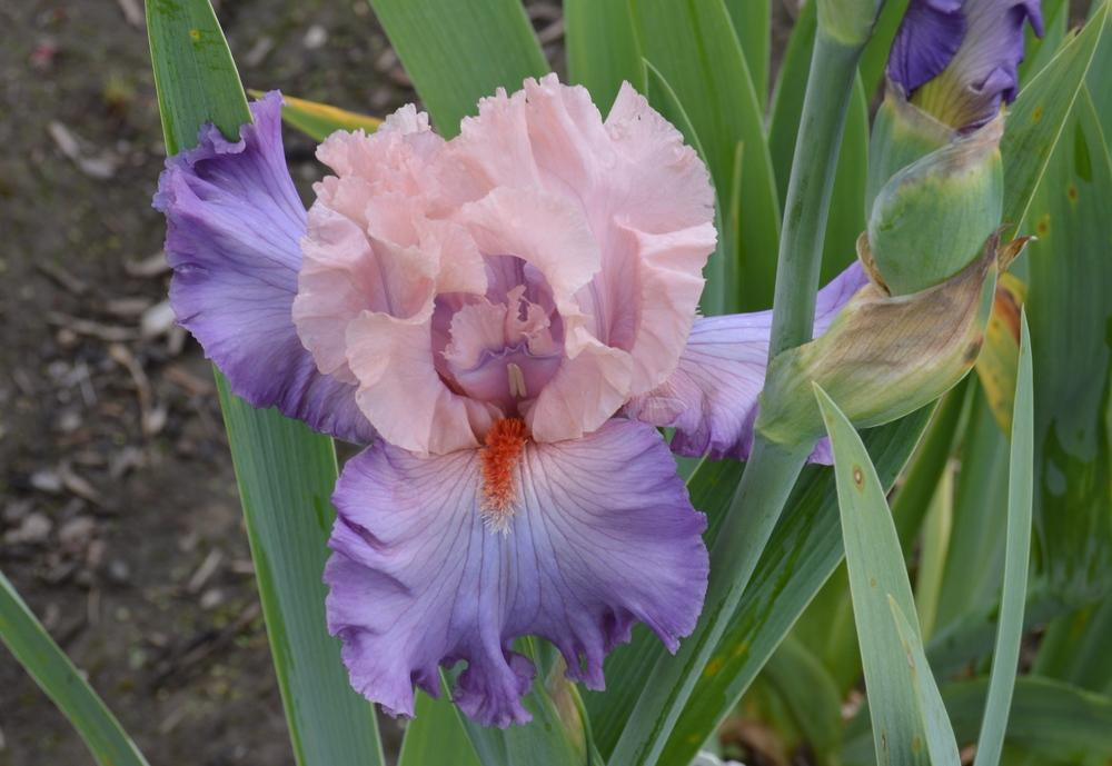 Photo of Tall Bearded Iris (Iris 'Marrying Kind') uploaded by KentPfeiffer