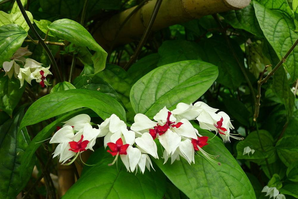 Photo of Bleeding Heart Vine (Clerodendrum thomsoniae) uploaded by robertduval14