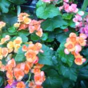 Location: Columbia, SCDate: 2015-07-06Wax begonia blooms
