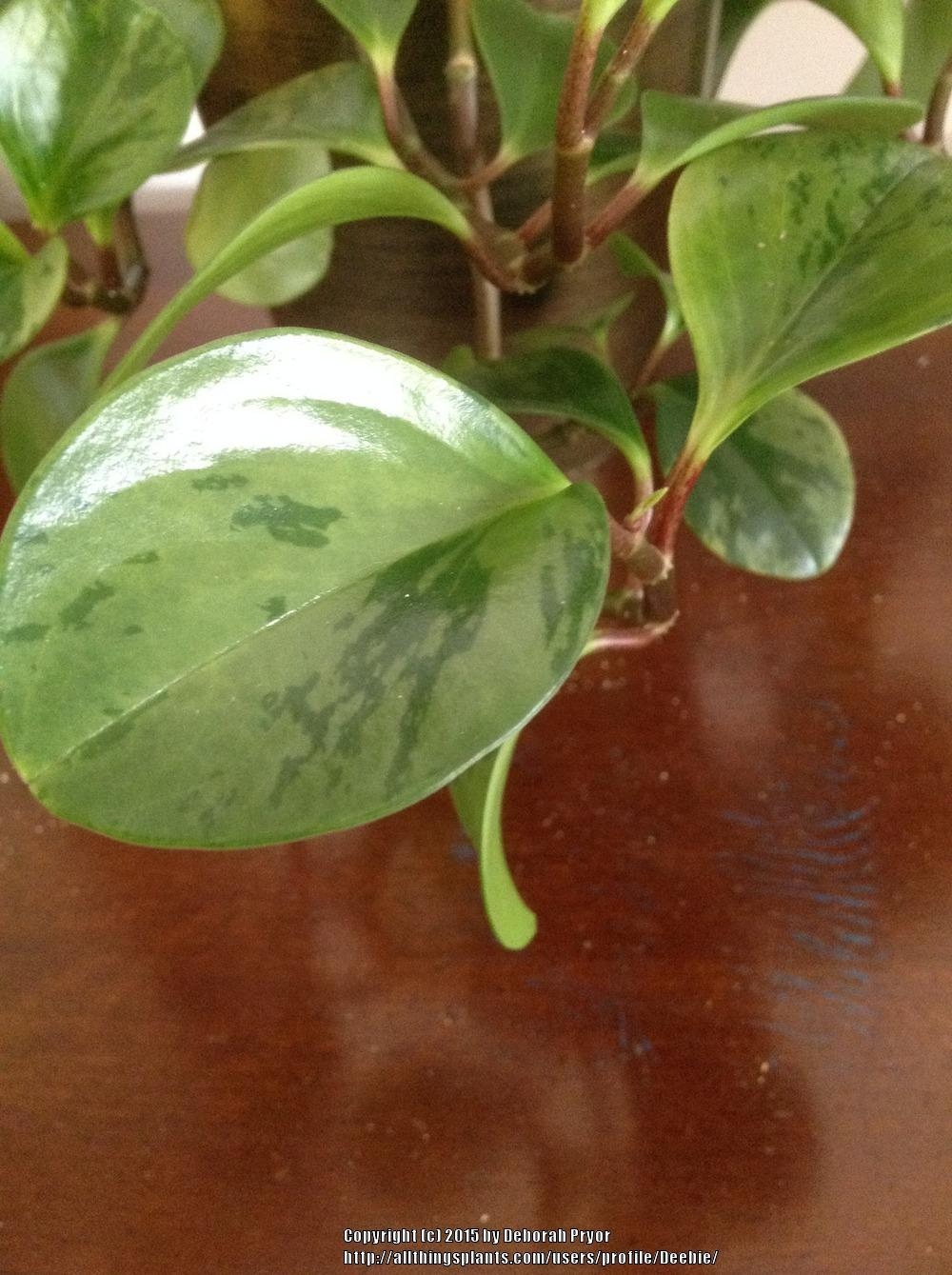 Photo of the leaves of Baby Rubber Plant (Peperomia obtusifolia ...