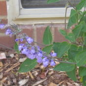 Location: Concord, NC zone 7Date: 2015-10-18I keep posting photos of this salvia, which is new to m