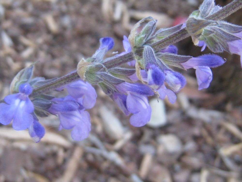 Photo of Sage (Salvia 'Blue Chiquita') uploaded by Hemophobic