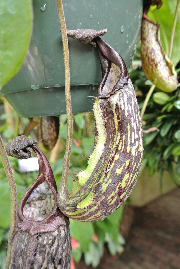 Photo of Nepenthes (Nepenthes maxima) uploaded by robertduval14