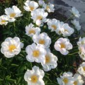 Location: Orangeburg, SCDate: 2014-04-28Peony blooms, NOID Single White