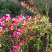 Location: Orangeburg, SCDate: 2015-06-12Weigela, needs pruning badly