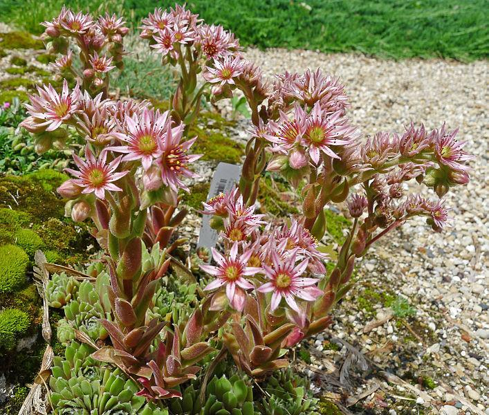 Photo of Hen and Chicks (Sempervivum 'Jubilee') uploaded by robertduval14