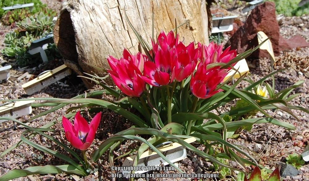 Photo of Species Tulip (Tulipa 'Little Beauty') uploaded by valleylynn