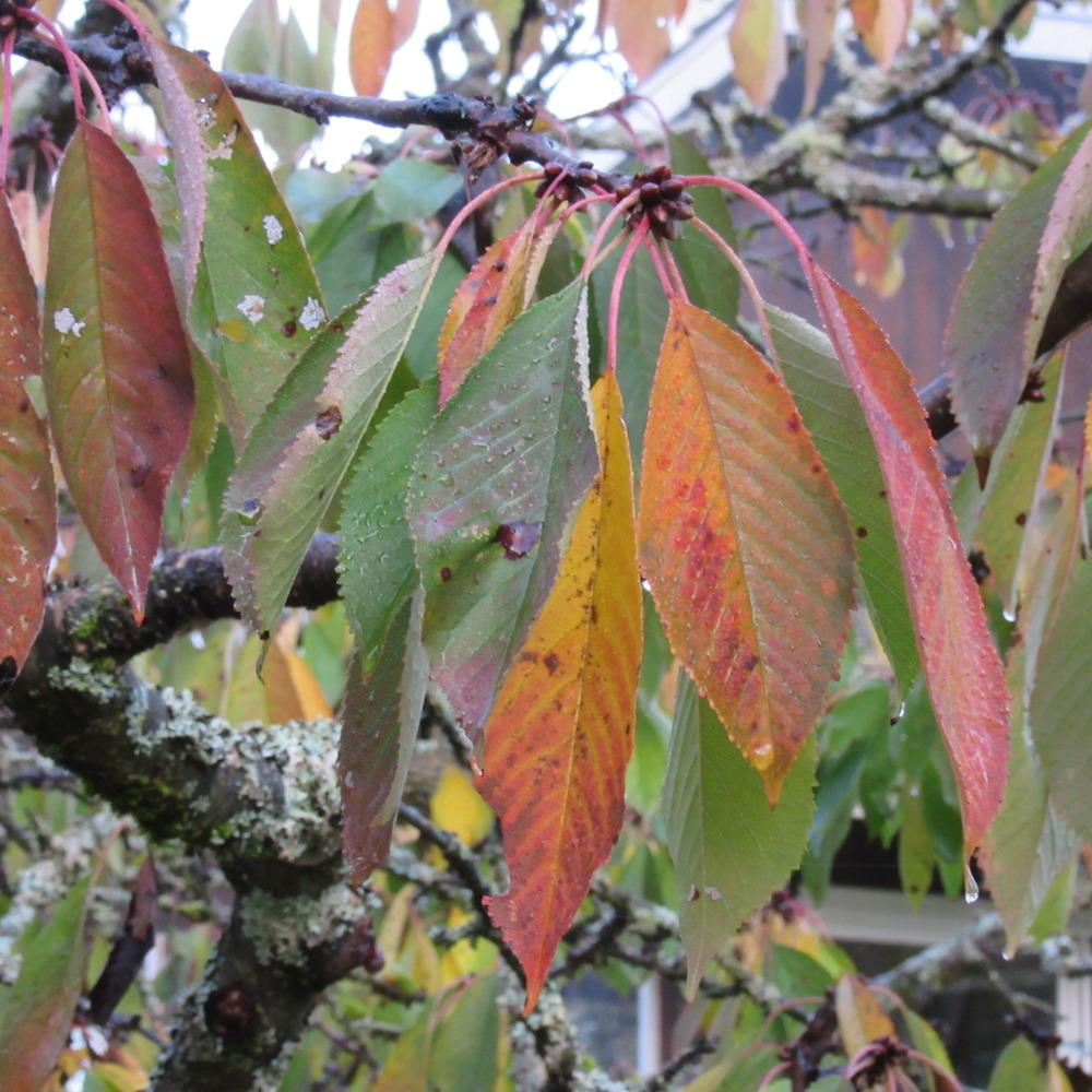 Sweet cherry: planting and caring for seedlings. Cherry varieties, photo 30