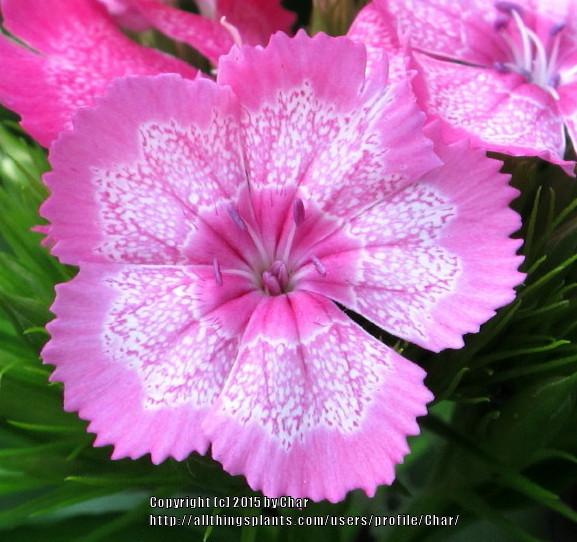 Photo of Sweet William (Dianthus barbatus) uploaded by Char