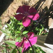 "Location: Concord, NC zone 7Date: 2015-10-20Labeled as ""Red Cardinal,"" but same plant"