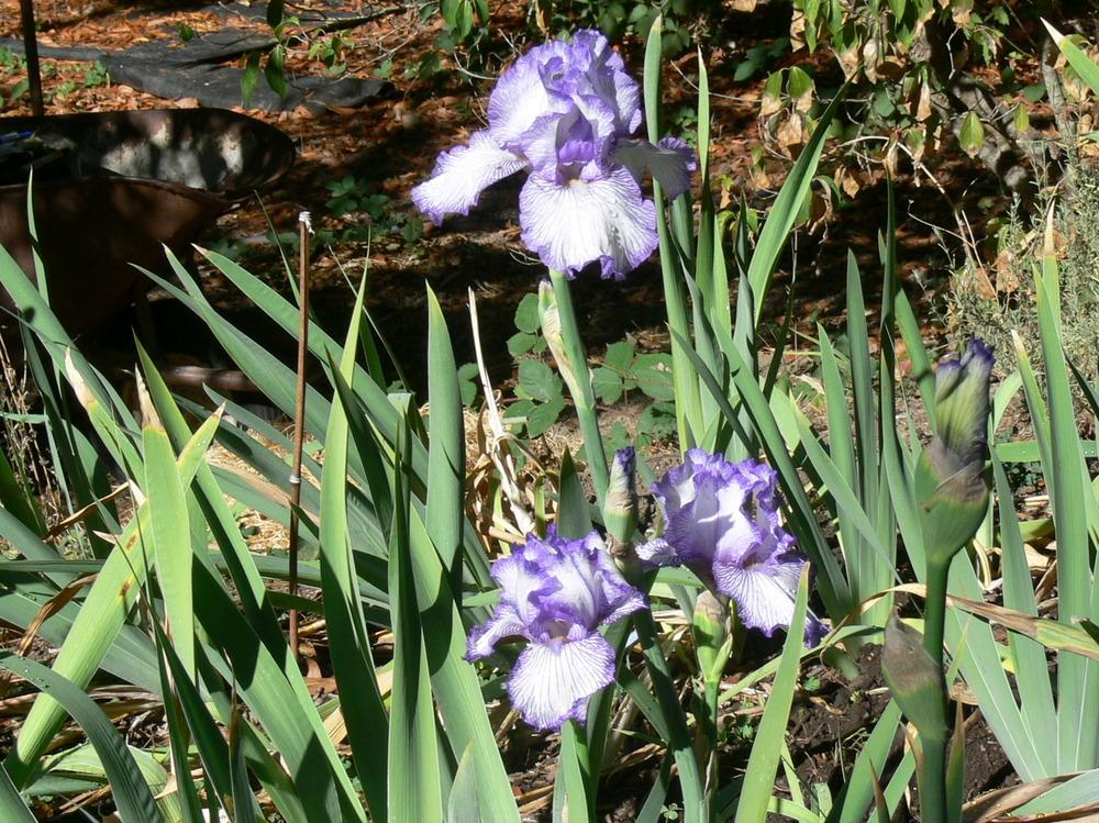 Photo of Tall Bearded Iris (Iris 'Autumn Circus') uploaded by janwax