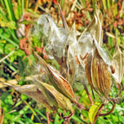 Location: My GardensDate: Oct. 12, 2014Dried Pods Releasing Seeds