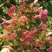 Location: Hornbaker's Gardens, Princeton, ILDate: 2015-09-12Shows bloom color as it ages