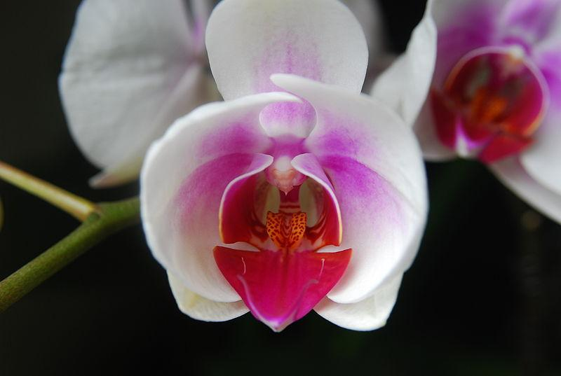 Photo of Orchid (Phalaenopsis 'Aphrodite') uploaded by robertduval14