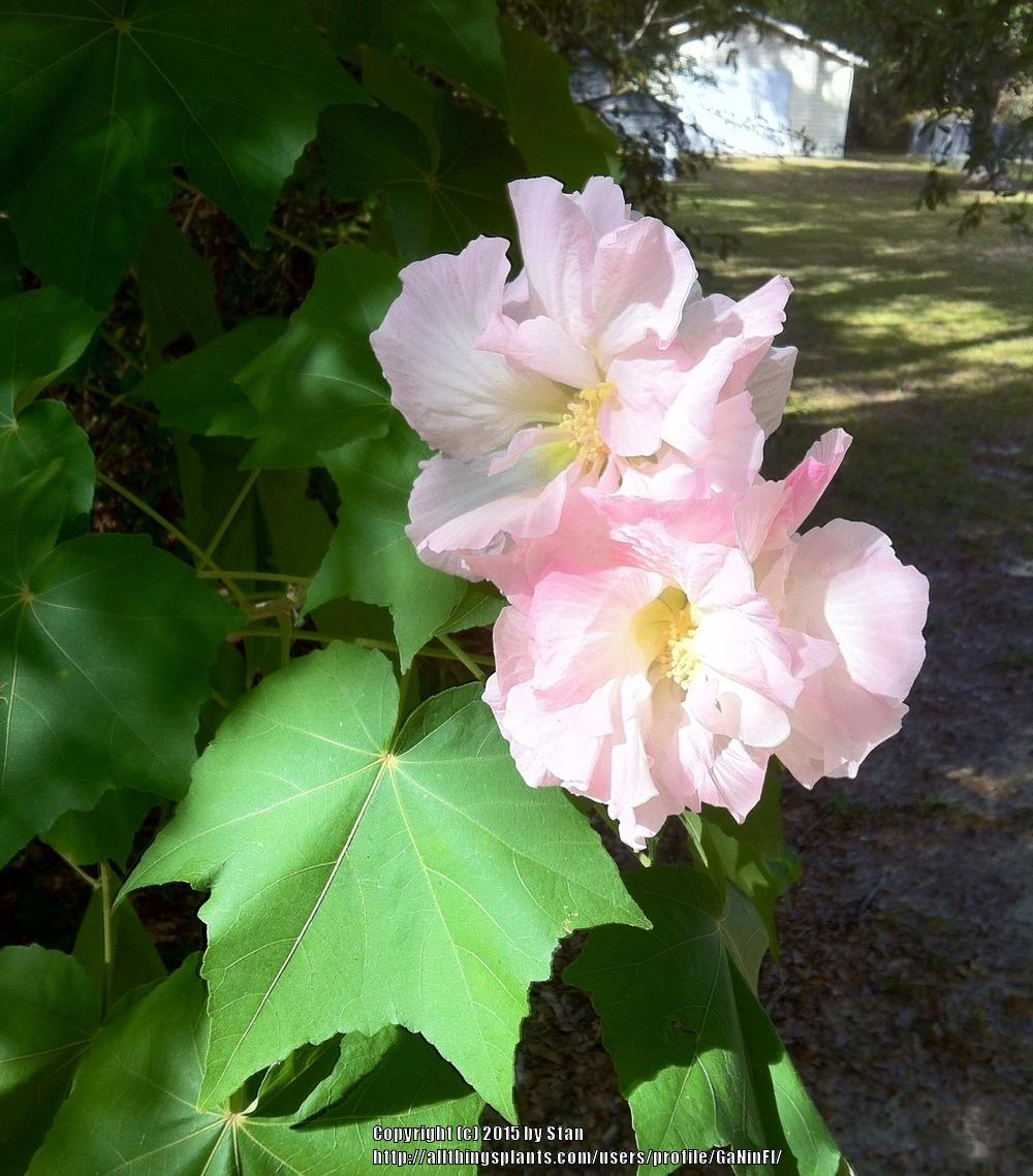 Photo of Confederate Rose (Hibiscus mutabilis) uploaded by GaNinFl