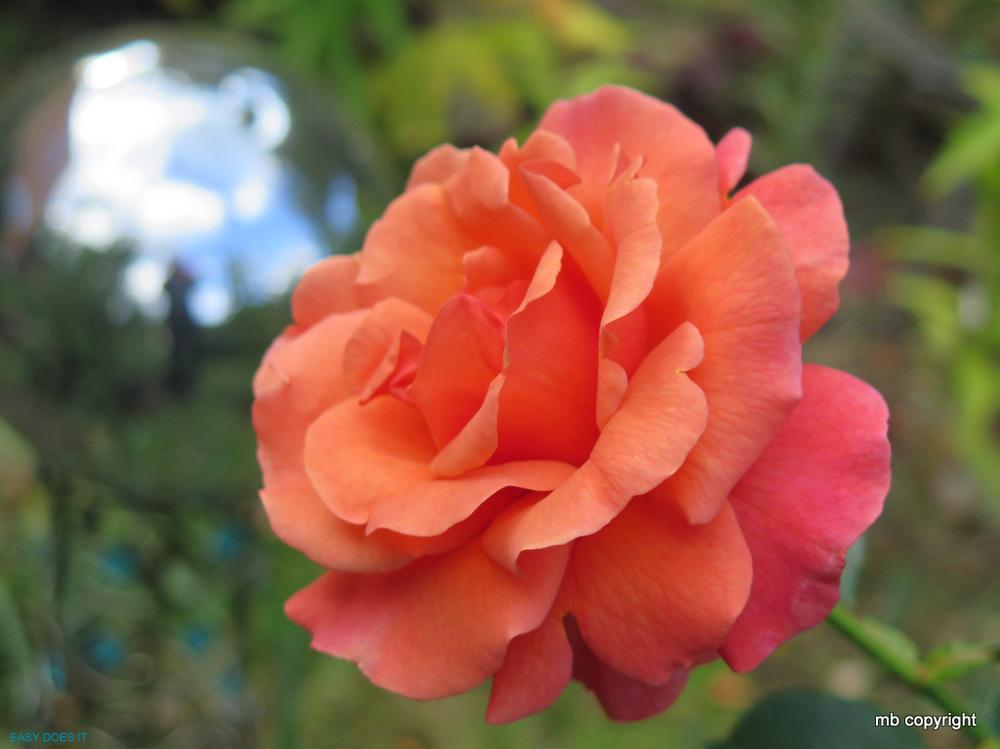 Photo of Rose (Rosa 'Easy Does It') uploaded by MargieNY
