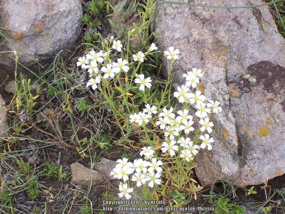 Photo of Field Mouse-Ear Chickweed (Cerastium arvense) uploaded by Mutisia
