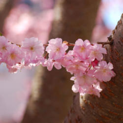 How Can We Save A Dying Cherry Blossom Tree Knowledgebase Question Garden Org