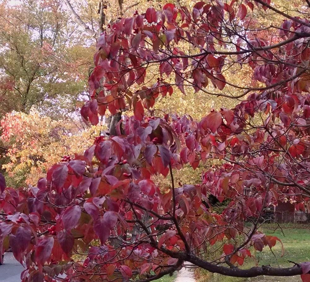 photo of the fall color of flowering dogwood cornus. Black Bedroom Furniture Sets. Home Design Ideas