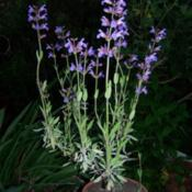 My one year old Salvia officinalis, grown from seeds, i