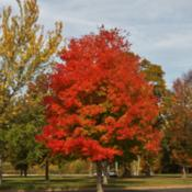 Location: Levittown, PennsylvaniaDate: 2015-10-27This beauty is in front of the town library