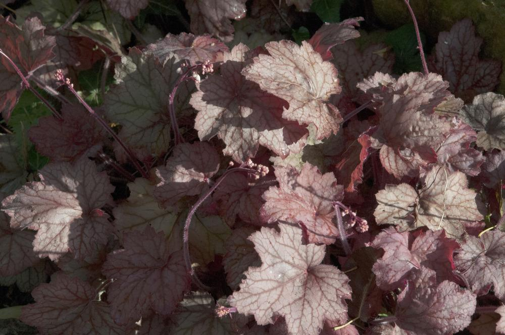Photo of Coral Bells (Heuchera 'Georgia Peach') uploaded by cliftoncat
