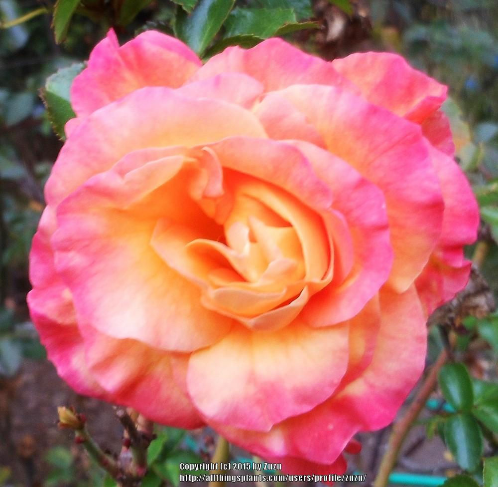 Photo of Rose (Rosa 'Day Breaker') uploaded by zuzu