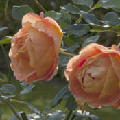 Location: EnglandDate: 2015-10-30October roses