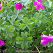 Oxalis arenaria leaves are composed by 3 or 4 heart-shaped segmen