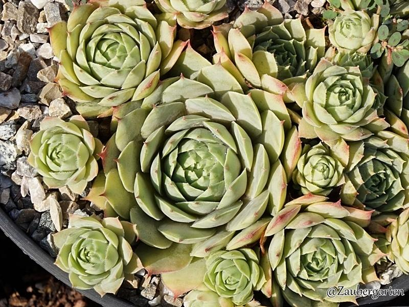 Photo of Hen and Chicks (Sempervivum 'Gramis') uploaded by Zaubergarten