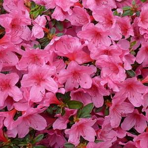 Rhododendron Hecke rhododendron madame hecke in the rhododendrons database