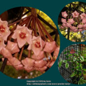 Location: At our garden - San Joaquin County, CADate: Nov 4-5, 2015 Fall SeasonVery first bloom of my Hoya carnosa 'Krimson Queen'
