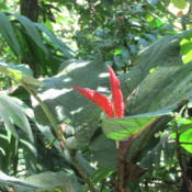 Location: Costa RicaDate: October 2015the new leaf that is emerging is a striking red color.