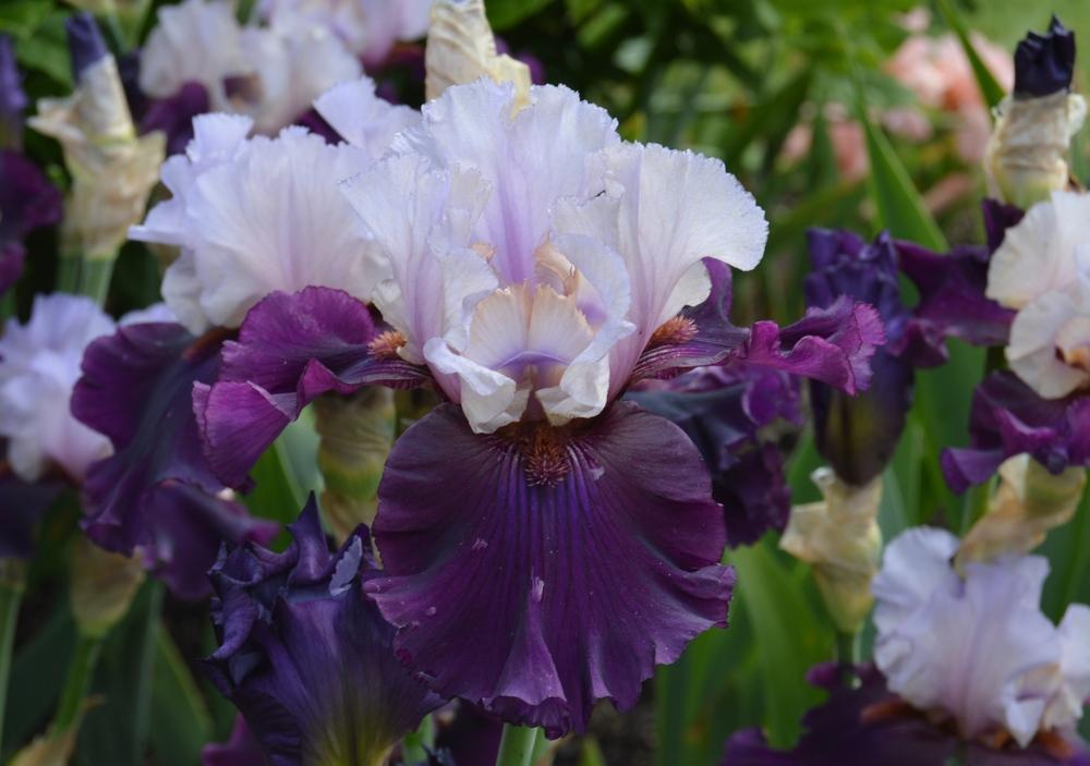 Photo of Tall Bearded Iris (Iris 'Evening Drama') uploaded by KentPfeiffer